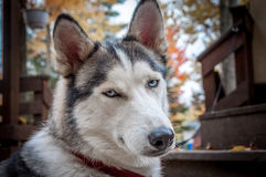 Sled husky dog  semi profile closeup Stock Photos