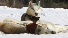 Sled husky dogs. Sled dogs husky resting on the snow before the race stock footage