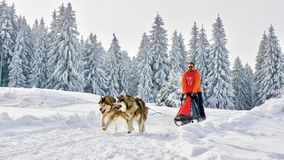 Sled dogs in competition running in frozen land Royalty Free Stock Images