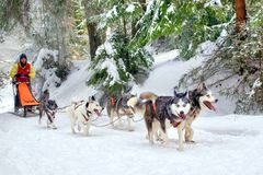 Sled dogs team in competition running in snow. Sled husky or malamute dogs team with musher and sleigh running in white frozen winter wonderland. Iced fir trees royalty free stock image