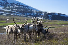 Sled reindeer and sleigh in the tundra Royalty Free Stock Photography