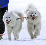 Sled samoyed dogs in speed racing, Moss,. Two samoyed sled dogs in speed racing, Moss, Switzerland Royalty Free Stock Photos