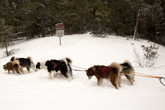 Sled Team in the Boundary Waters. Team of sled dogs in harness in the Boundary Waters Conservation Area located in northern Minnesota Stock Photography