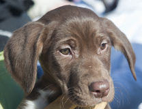 Sledder del perro de perrito Fotos de archivo libres de regalías