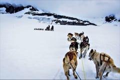 sledding阿拉斯加的狗 图库摄影