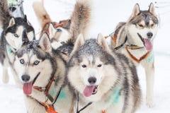 Sledding με τα γεροδεμένα σκυλιά σε ένα χειμερινό δάσος κοντά στην πόλης ένταση Totma Στοκ Εικόνες