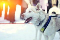 Sledding με τα γεροδεμένα σκυλιά στο Lapland Φινλανδία Στοκ φωτογραφίες με δικαίωμα ελεύθερης χρήσης