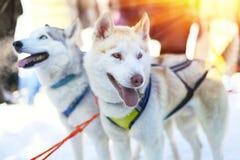 Sledding с осиплыми собаками в Лапландии Финляндии Стоковая Фотография RF