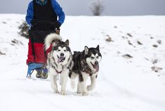 Sledding with alaskan malamute dogs in Romania. Dog-sledding with alaskan malamute in the wild Stock Photo