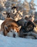 Sledding del cane è un buon spettacolo per i cittadini immagini stock libere da diritti