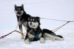 Sledding dogs Royalty Free Stock Photos