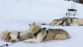 Sledding dogs breed Siberian Huskies. Resting on the snow while waiting for the run stock video