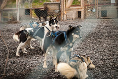 Sledding dogs in the kennel Stock Photo