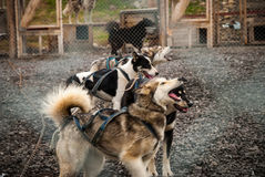 Sledding dogs in the kennel Stock Photography