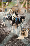 Sledding dogs in the kennel Royalty Free Stock Images