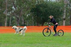 Sledding with husky dog. Fit sandy Siberian husky dog sledding woman on a dogscooter in a park on a rainy day; Brisbane, 13 April 2014 stock photo