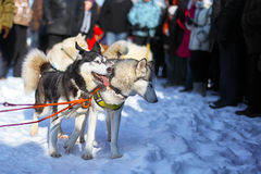 Sledding with husky dogs in Lapland Finland Royalty Free Stock Photo
