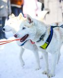 Sledding with husky dogs in Lapland Finland. Cute dogs Stock Photography
