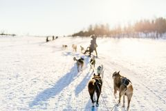 Husky safari. Sledding with husky dogs in Northern Norway royalty free stock photos