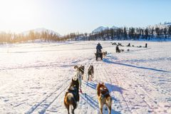 Husky safari. Sledding with husky dogs in Northern Norway royalty free stock photography