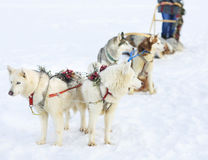 Sledding with husky dogs Stock Photography