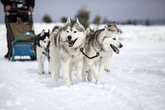 Sledding with husky dogs in Romania. Dog-sledding with huskies in the wild Royalty Free Stock Image