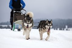Sledding with husky dogs in Romania. Dog-sledding with huskies in the wild Royalty Free Stock Photos
