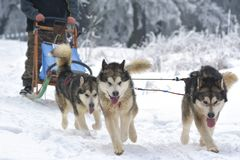 Sledding with husky dogs on snow. Royalty Free Stock Photo