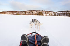 Sledding with husky dogs in the winter Stock Images