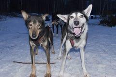 Sledding in Lapland stock afbeeldingen