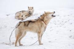 Sledding psy w Północnym Greenland, Sisimiut Zdjęcie Stock