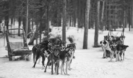 Sledding with sled dog in lapland in winter time Royalty Free Stock Images