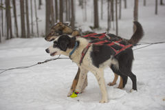 Sledding with sled dog in lapland in winter time Stock Photos