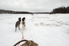 Sledding with sled dog in lapland in winter time Royalty Free Stock Photo