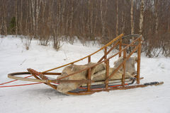 Sledding with sled dog in lapland in winter time Stock Images