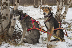 Sledding with sled dog in lapland in winter time Stock Photography