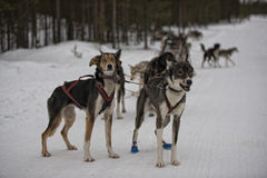 Sledding with sled dog in lapland in winter time Stock Photo