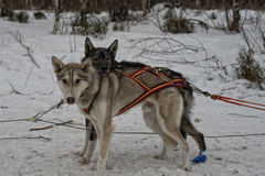 Sledding with sled dog in lapland in winter time Royalty Free Stock Photography