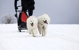 Sledding with spitz dogs in Romania. Dog-sledding with spitz dogs in the wild Royalty Free Stock Images