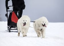 Sledding with spitz dogs in Romania. Dog-sledding with spitz dogs in the wild Stock Photos