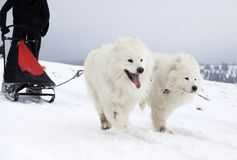Sledding with spitz dogs in Romania. Dog-sledding with spitz dogs in the wild Royalty Free Stock Image