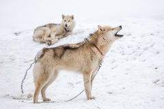Sleddingshonden in Noord-Groenland, Sisimiut stock foto