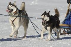 sleddog гонки Стоковая Фотография