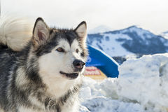 Sleddog competition Royalty Free Stock Photos
