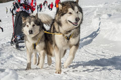Sleddog competition Royalty Free Stock Images