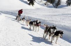 Sleddog del husky siberiano in alpi Nockberge-longtrail Immagine Stock