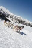 Sleddog des sibirischen Huskys in den Alpen stockfotos