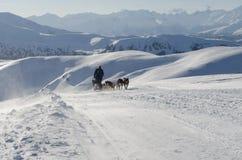 Sleddog för alaskabo malamute i fjällängar Nockberge-longtrail Arkivfoto