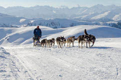Sleddog för alaskabo malamute i fjällängar Nockberge-longtrail Royaltyfria Bilder
