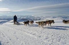 Sleddog för alaskabo malamute i fjällängar Nockberge-longtrail Arkivbild